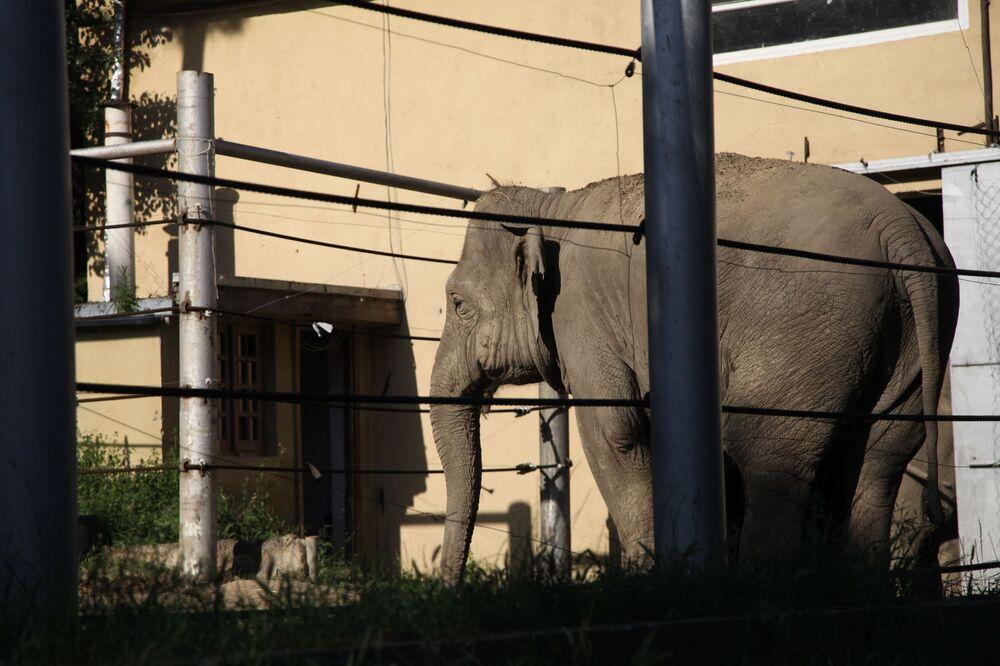 L'elefante scappato dallo zoo durante l'alluvione a Tbilisi.