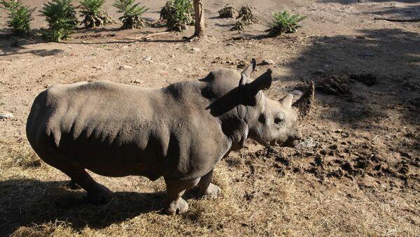 Un rinoceronte allo zoo inondato a Tbilisi. - Sputnik Italia