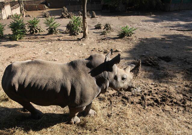 Un rinoceronte allo zoo inondato a Tbilisi.