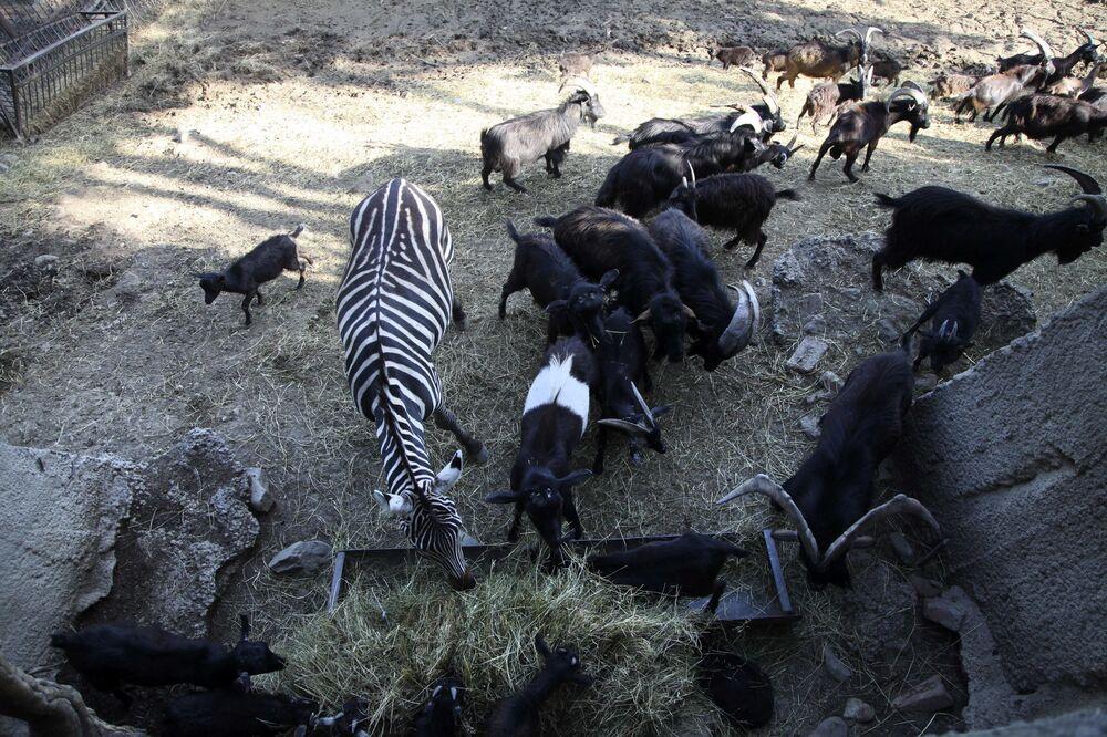 Una zebra e altri animali nello zoo inondato a Tbilisi.