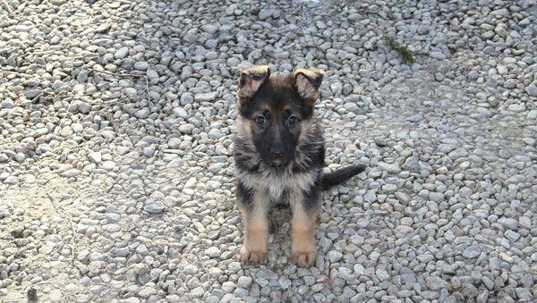 German Shepherd Puppy - Sputnik Italia