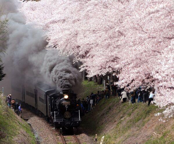 Una locomotiva a vapore passa sotto i fiori di ciliegio a Hitoyoshi, Giappone. - Sputnik Italia