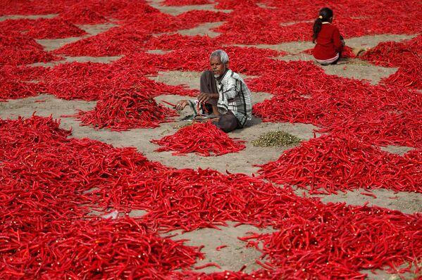 Un uomo monda chili in una fattoria nei pressi di Ahmedabad, India. - Sputnik Italia