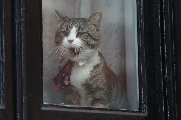 Il gatto James visto nella finestra dell'ambasciata dell'Eucuador a Londra. - Sputnik Italia