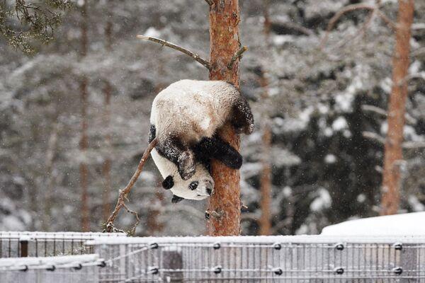 Il panda Lumi durante una nevicata allo zoo Ahtari, Finlanda. - Sputnik Italia