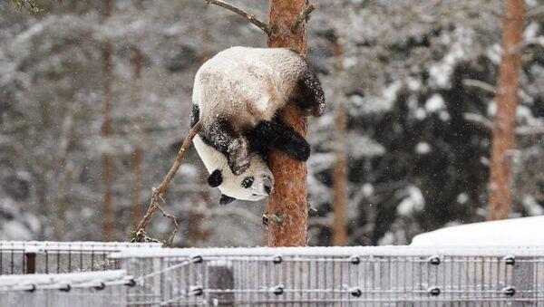 Un panda gioca con la neve - Sputnik Italia