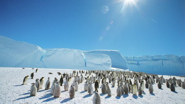 Emperor penguins near the Mirny Soviet Antarctic research station, 1989 - Sputnik Italia