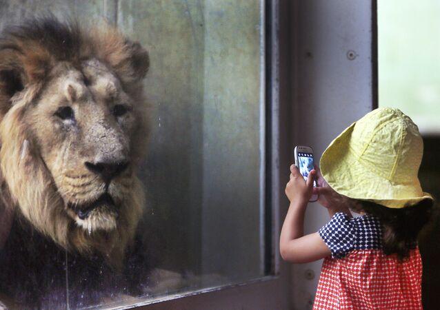 Una bambina fotografa un leone