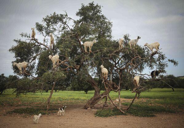 Le capre in cerca del cibo sull'Argania Spinosa in Marocco. - Sputnik Italia