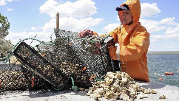 Устрицы, добытые сотрудниками предприятия Крымские морепродукты - Sputnik Italia