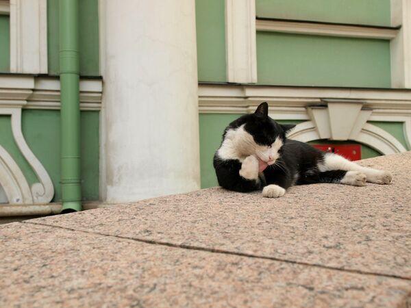 Un gatto d'Ermitage, Russia - Sputnik Italia
