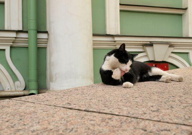 Gatto all'Ermitage di San Pietroburgo