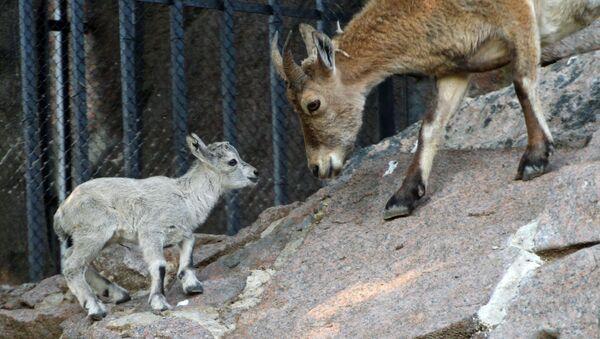 Il tur orientale neonato nello zoo di Mosca. - Sputnik Italia