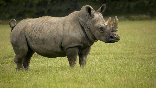 Il rinoceronte bianco - Sputnik Italia