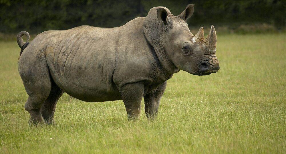 Il rinoceronte bianco
