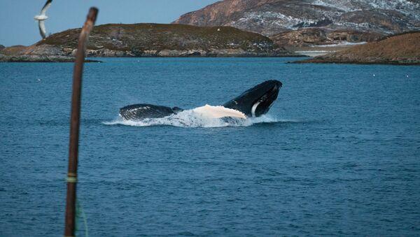 Una balena - Sputnik Italia