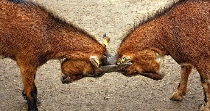 Due capretti in lotta tra loro