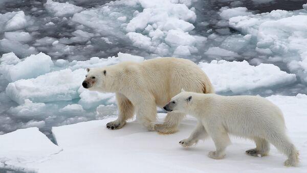 Orsi bianchi nell'Oceano glaciale artico - Sputnik Italia