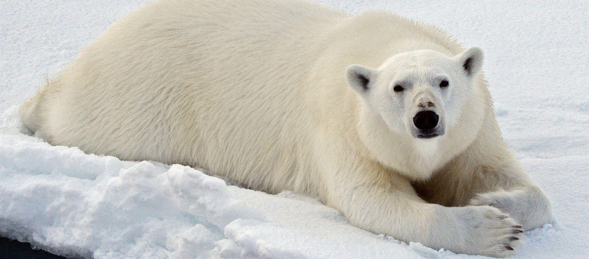 Un orso bianco nel Mar glaciale artico - Sputnik Italia, 1920, 19.09.2020