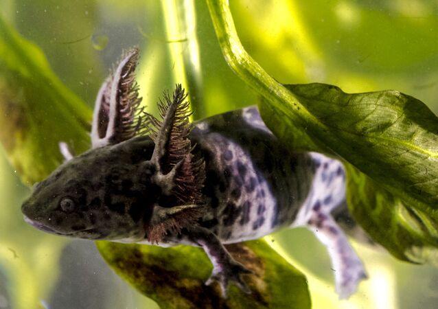 Axolote, animale endemico messicano a rischio d'estinzione