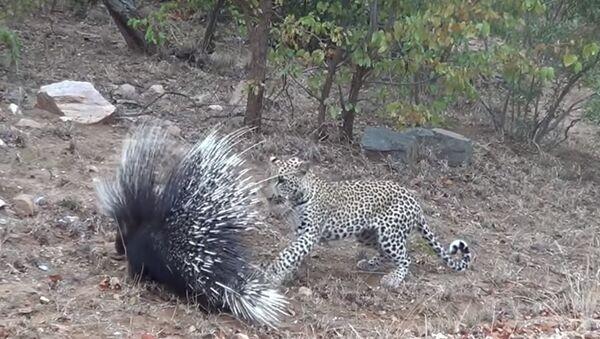 Leopard Porcupine - Sputnik Italia