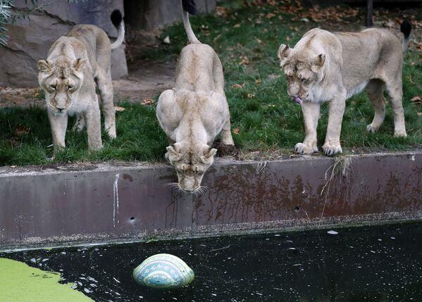 Leonesse allo zoo di Londra. - Sputnik Italia