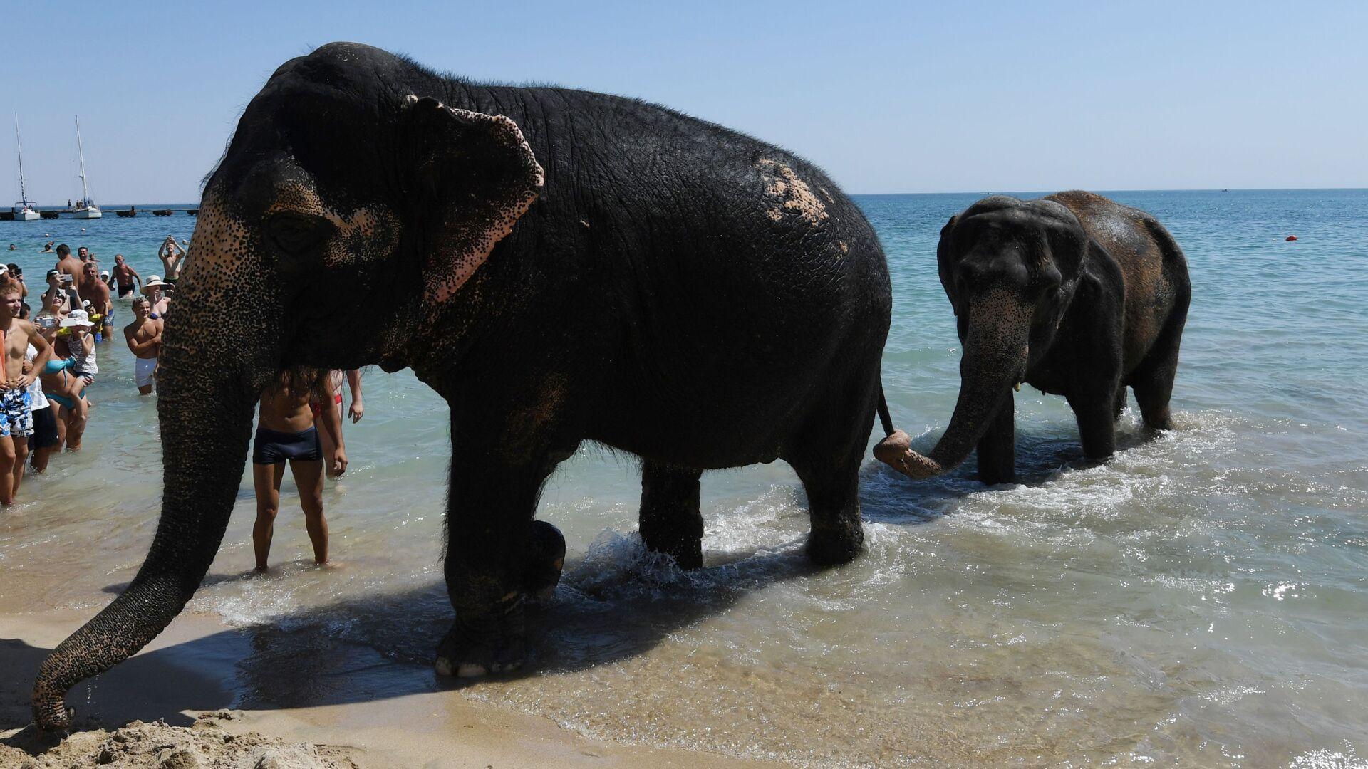 Gli elefanti Jenny e Magda, partecipanti allo show circense, ritornano sulla spiaggia dopo il bagno nel mare ad Eupatoria, Crimea. - Sputnik Italia, 1920, 22.08.2021