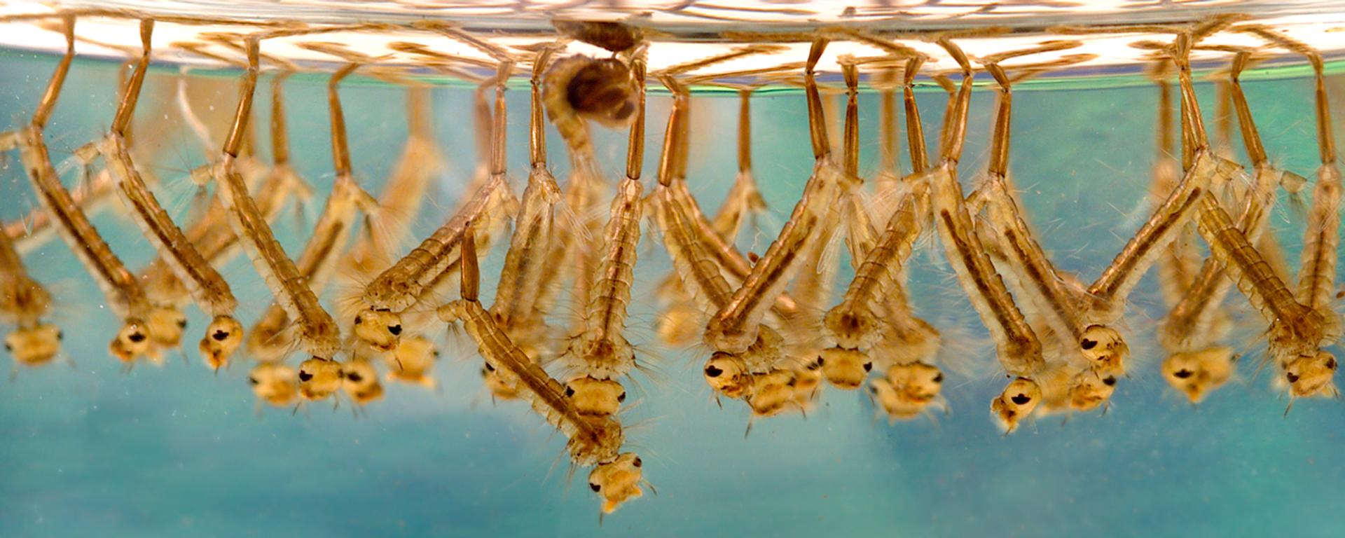 Larva di di zanzare - Sputnik Italia, 1920, 02.05.2021