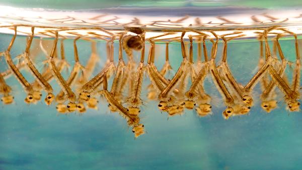 Larva di di zanzare - Sputnik Italia