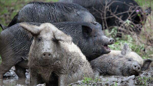 Wild pigs at the foot of Mount Demerdzhi. - Sputnik Italia