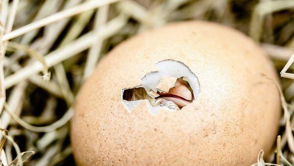 Pulcino nell'uovo - figura metaforica - Sputnik Italia