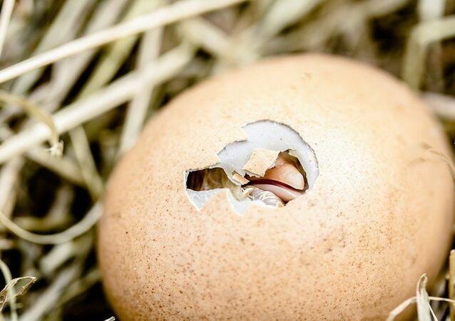 Pulcino nell'uovo - figura metaforica