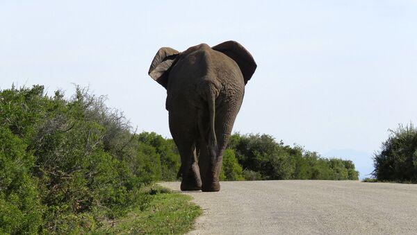 Elefante - Sputnik Italia