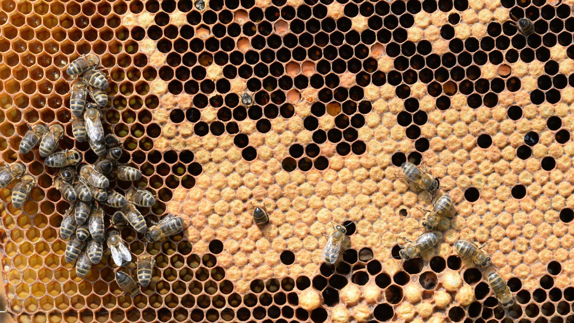 Produzione di miele in Baschiria - Sputnik Italia, 1920, 29.08.2021