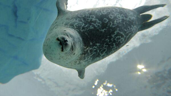 La foca Yuki nell'acquario di Osaka - Sputnik Italia