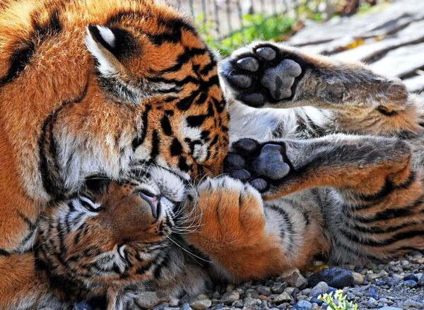 La giovane tigre Aleksa e il cucciolo Tajgan, portato dal parco crimeano di Tajgan, stanno sul territori dello zoo Sadgorod a Vladivostok - Sputnik Italia