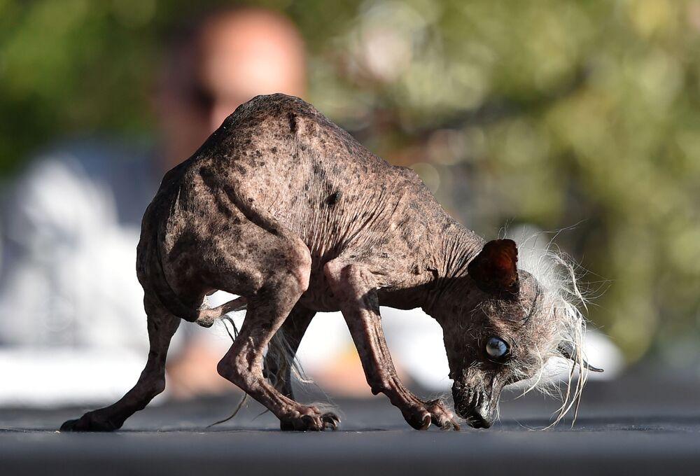Il cane Sweepee Rambo al concorso Cane più brutto nel mondo, California.