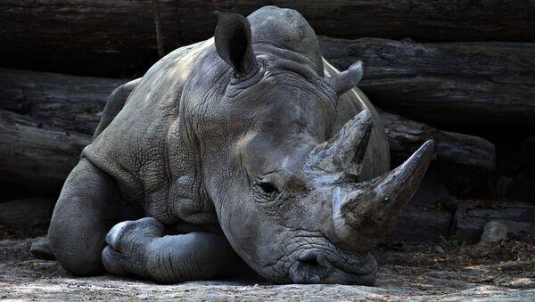 Rinoceronte vero - Sputnik Italia