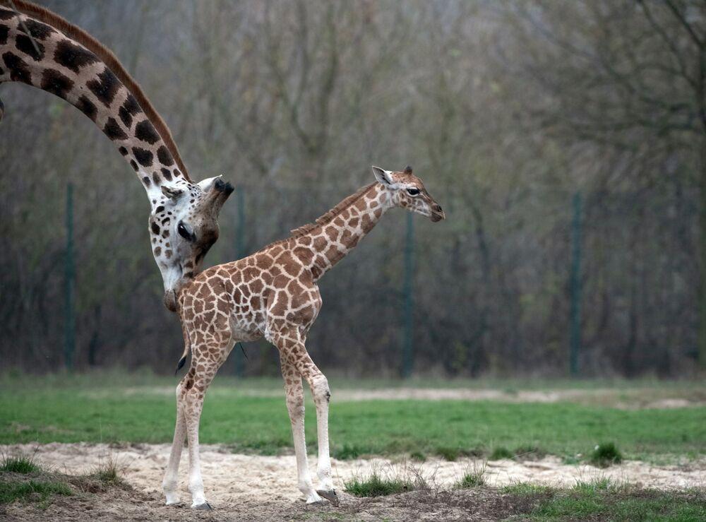 Cucciolo di giraffa appena nato con la mamma allo zoo di Berlino.