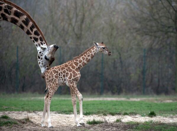 Cucciolo di giraffa appena nato con la mamma allo zoo di Berlino. - Sputnik Italia