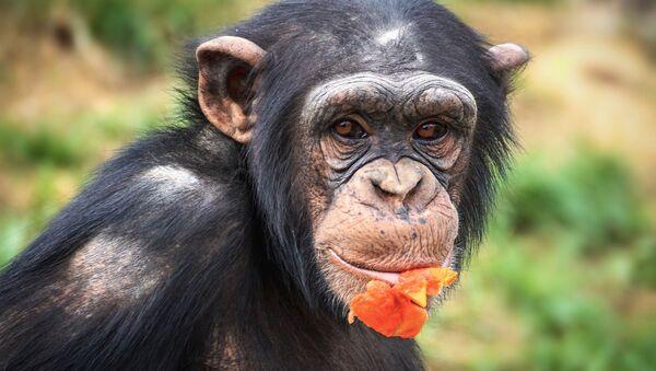 Chimpanzee - Sputnik Italia
