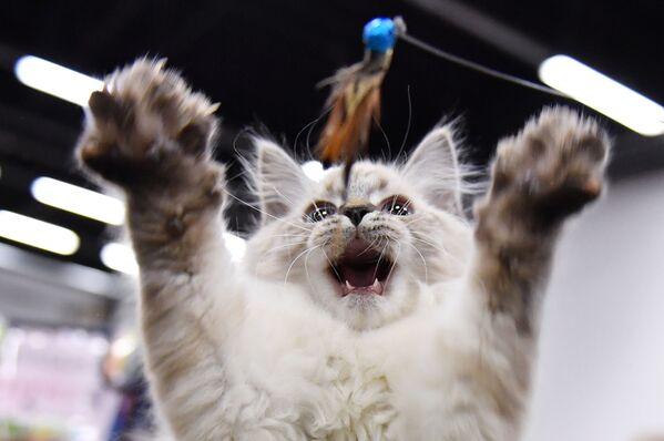 Una mostra dei gatti a Mosca. - Sputnik Italia