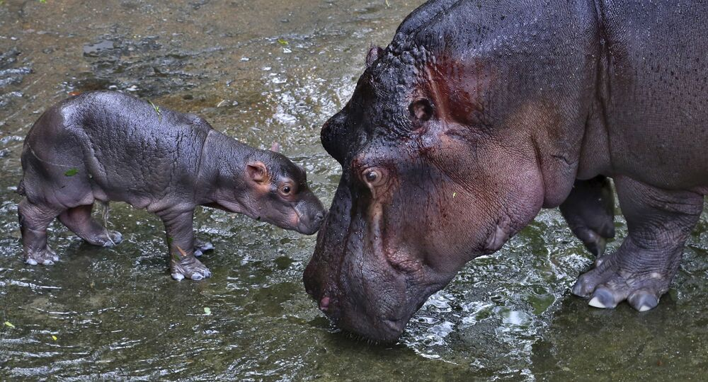 Due ippopotami nel parco nazionale dell'India.