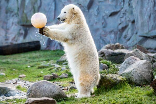 L'orso polare gioca con la palla nello zoo di Gelsenkirchen. - Sputnik Italia