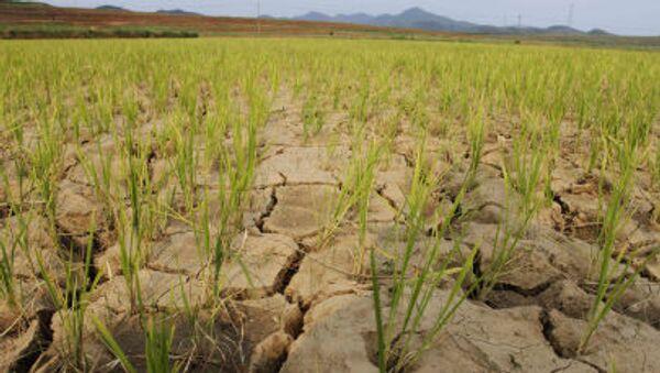 Засуха на плантациях риса в Северной Корее - Sputnik Italia