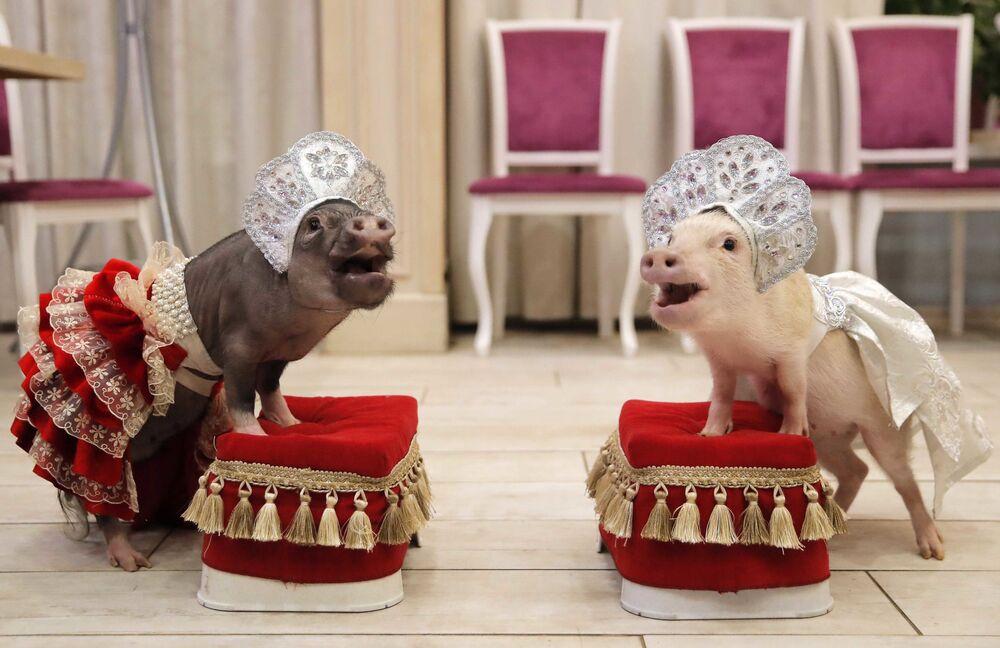 La mostra dei maialini nani.