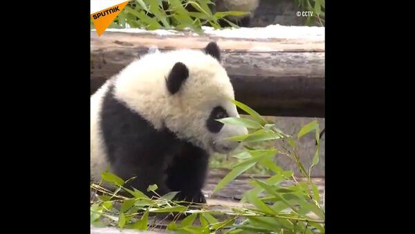 Panda gemelli - Sputnik Italia