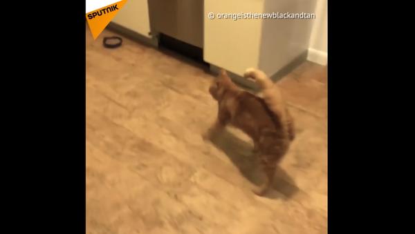 Questo gatto può sembrare ubriaco - Sputnik Italia
