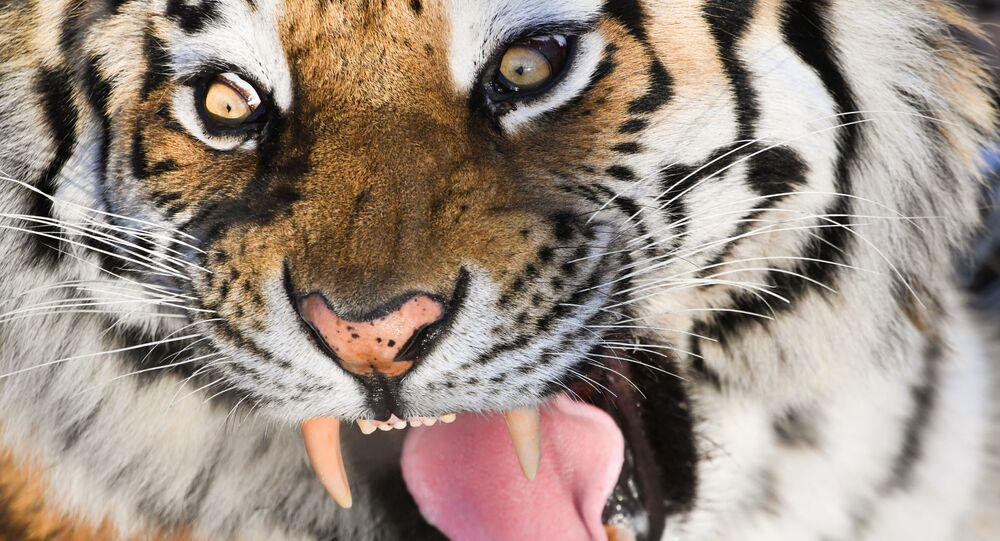 La tigre dell'Amur