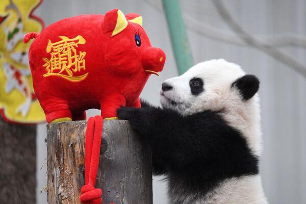 Un cucciolo di panda gioca con maialino, simbolo del Capodanno cinese nella provincia di Sichuan, Cina. - Sputnik Italia